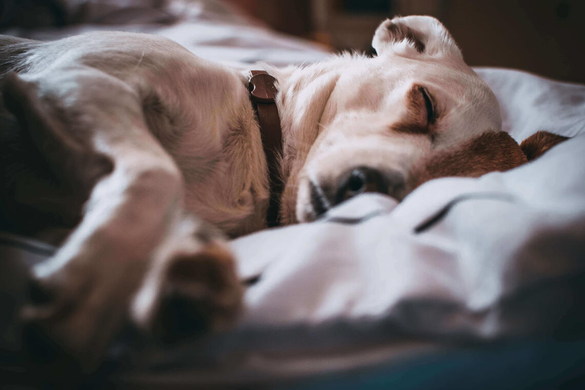 a dog sleeping on a bed. Sleep is important for your health.